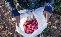 برداشت گل محمدی در استان مرکزی +عکس