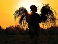 مردم و شالیکاران دلواپس تعیین قیمت برنج