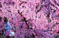 شکوفههای رنگارنگ بهاری در گوشه و کنار جهان +عکس