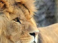 طرح لئوناردو دی کاپریو برای حمایت از شیرهای آفریقایی