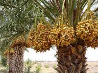 تفاوت ۴۰درصدی قیمت خرما از نخلستان تا سفره رمضان/ حذف حلقههای واسط سودی به حال نخلداران ندارد