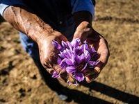 قاچاق پیاز زعفران از کشور نگران کننده است