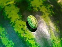 تولید هندوانه به اندازه دانههای زیتون +تصاویر