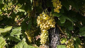 برداشت انگور در ارومیه +عکس
